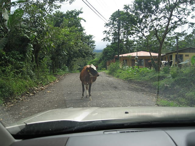 cow in the road cow in the road