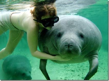 Manatee with swimmer