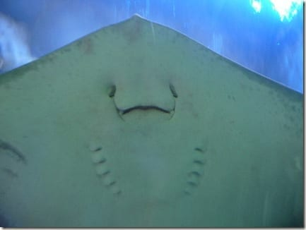 mantaray face