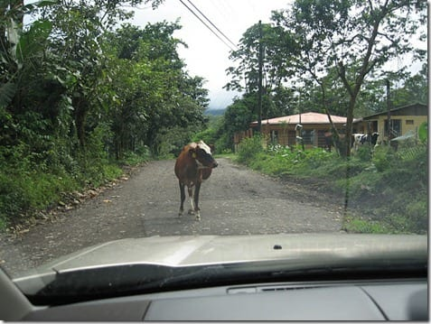 cow in the road thumb The Best Thanksgiving Ever