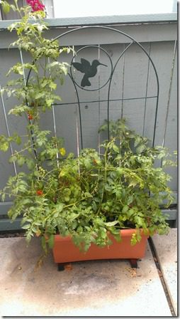 my patio garden tomato plant (450x800)