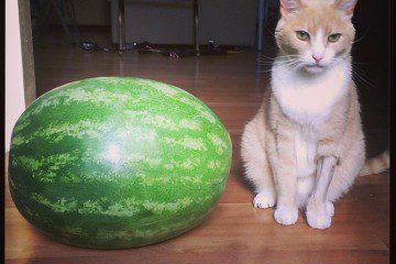 Silent Saturday–A Watermelon and a cat