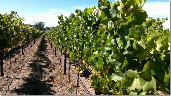 santa rosa vineyards (800x450)