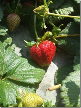 california strawberry farm visit 2 (600x800)