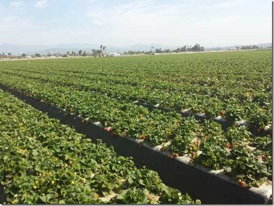 california strawberry farm visit 4 (800x600)