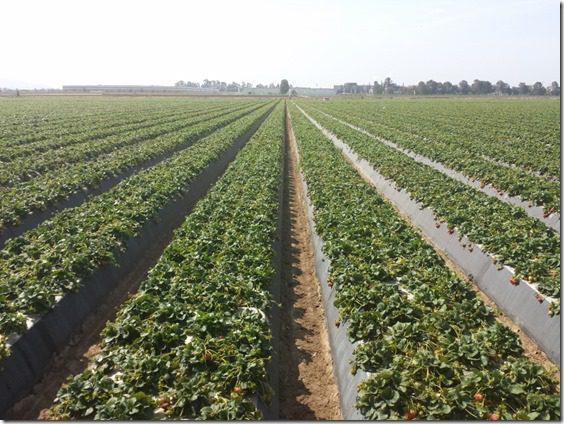 california strawberry farm visit 7 (800x600)