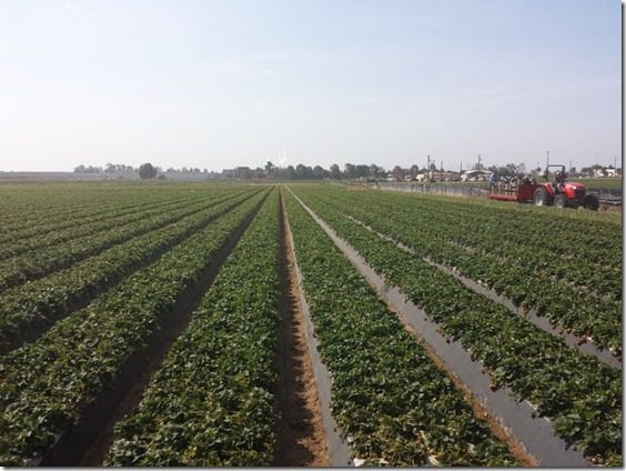 california strawberry farm visit blog (800x600)