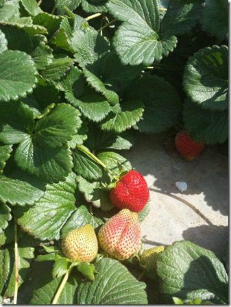 strawberry farm terry berry tour 6 (600x800)
