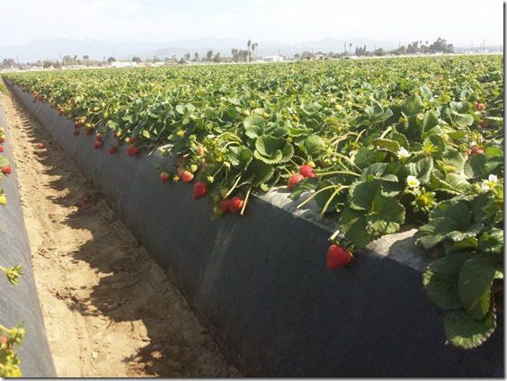 strawberry farm terry berry tour 7 (800x600)