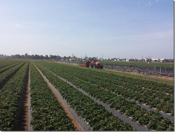 strawberry farm terry berry tour california 1 (800x600)