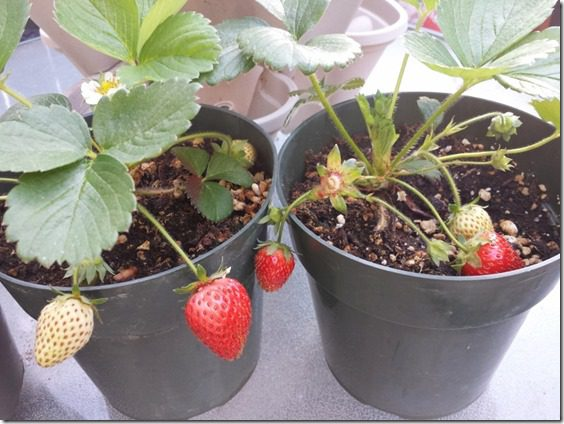 my strawberry plants 800x600 thumb Training for Rock N Roll San Diego Marathon and Suja Juice