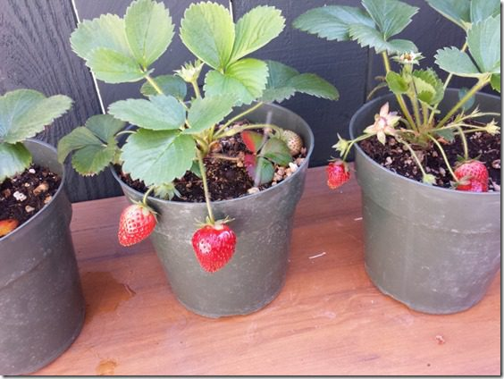 strawberry plants at home 800x600 thumb 5 Rules of Weight Loss with a Giveaway