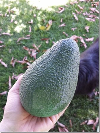 avocado from home (600x800)