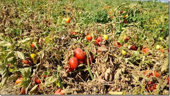 WP 20140731 10 02 50 Pro 800x450 thumb Sabra Salsa Love Touring a Tomato Farm