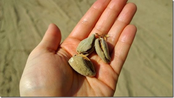 almonds straight from the tree