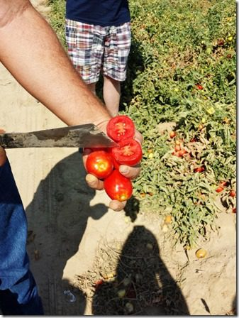 checking out the tomatoes (600x800)