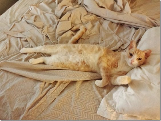 lazy cat (800x600)