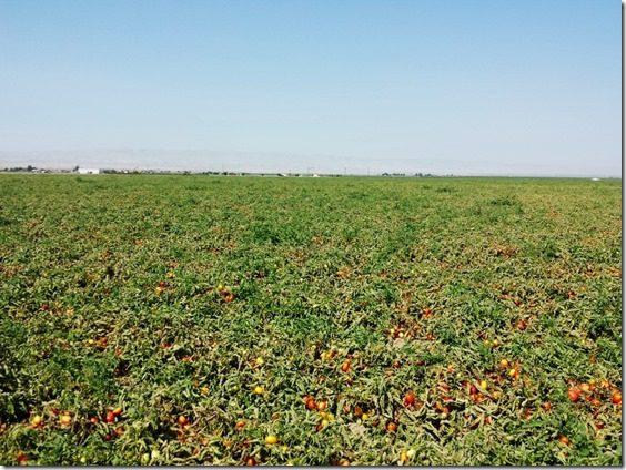 tomato farm fun (800x600) (800x600)