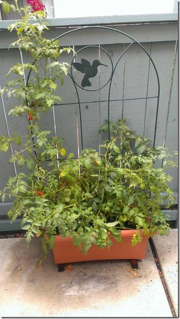 my patio garden tomato plant (450x800)