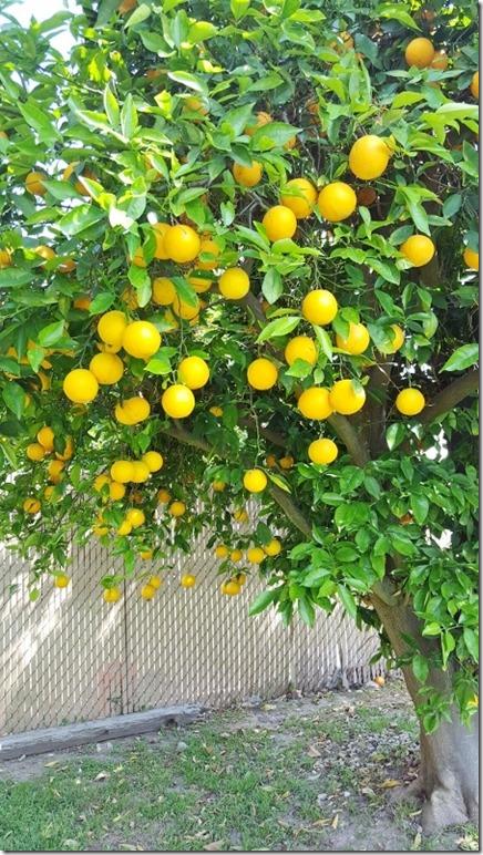 orange tree in la (450x800)