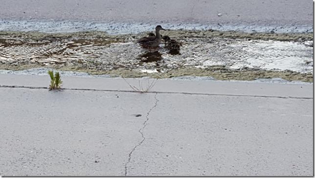ducks on a walk (800x450)
