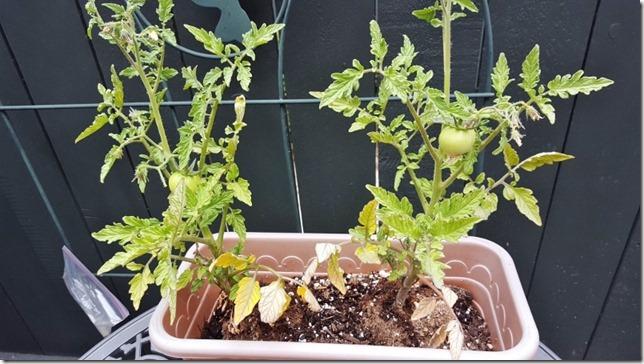 my tomato plant (800x450)
