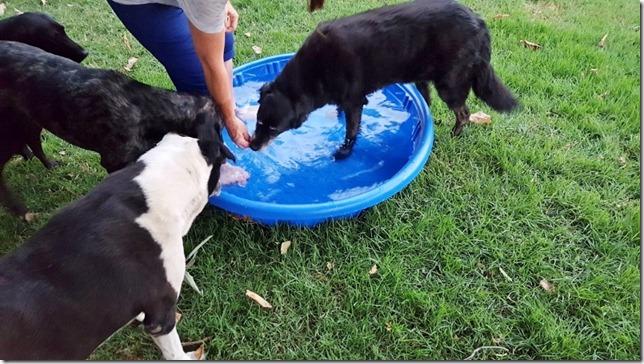 dog pool day blog 3 (800x450)