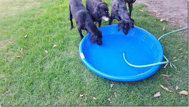 dog pool day blog 5 (800x450)