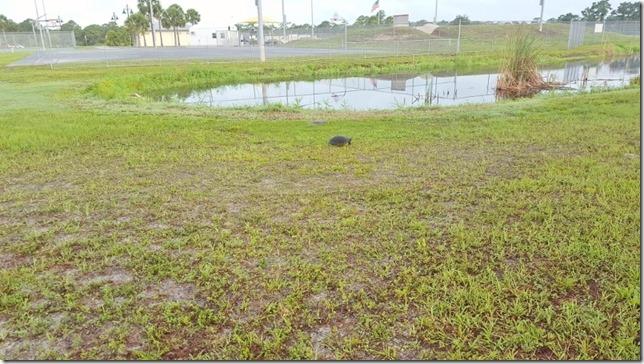 turtles in florida (800x450)