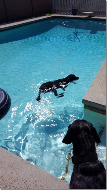 dogs swimming in pool 1 (450x800)