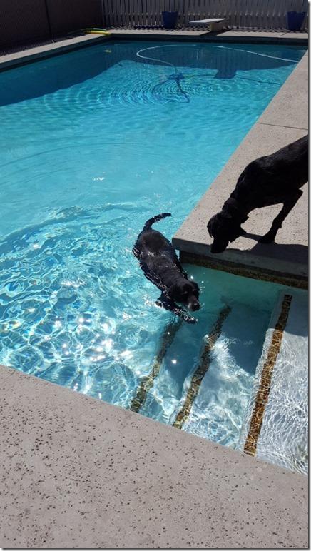 dogs swimming in pool (450x800)