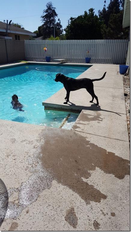 dogs swimming pool (450x800)