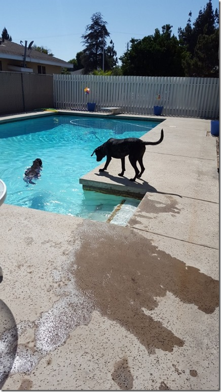 getting the dogs to swim (450x800)