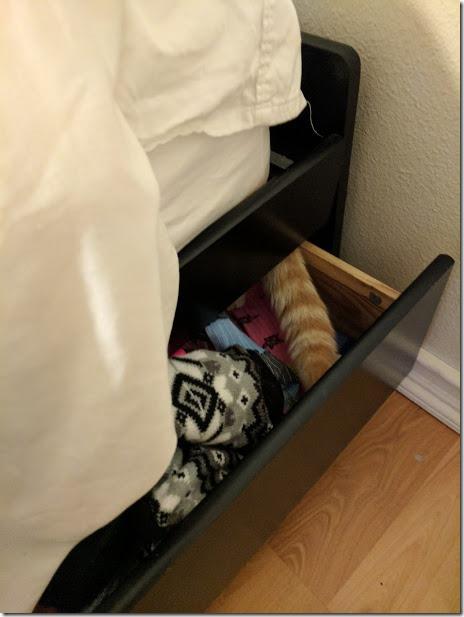 cat hiding sock (460x613)