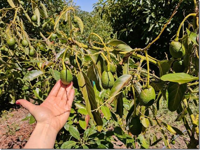 california avocados 10 (785x589)