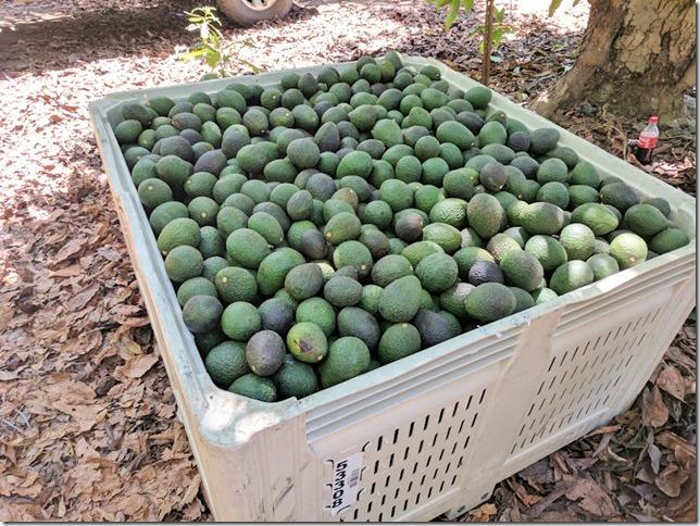 california avocados 11 (785x589)