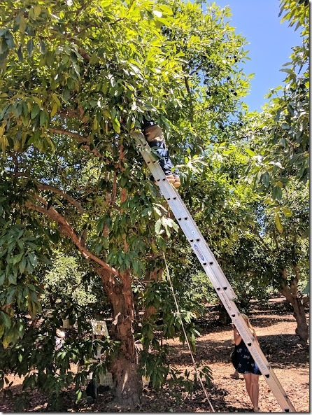 california avocados 13 (442x589)