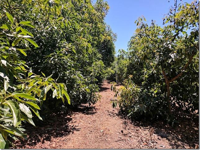 california avocados 14 (785x589)
