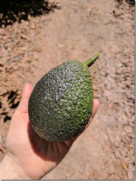 california avocados 15 (442x589)