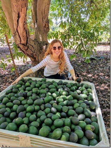 california avocados 17 (442x589)