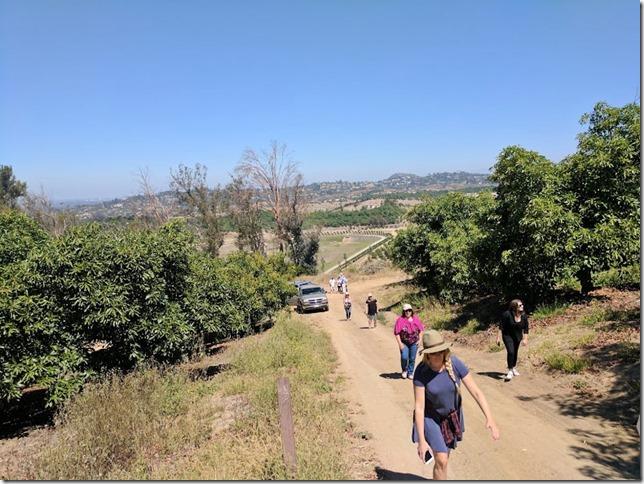 california avocados 2 (785x589)