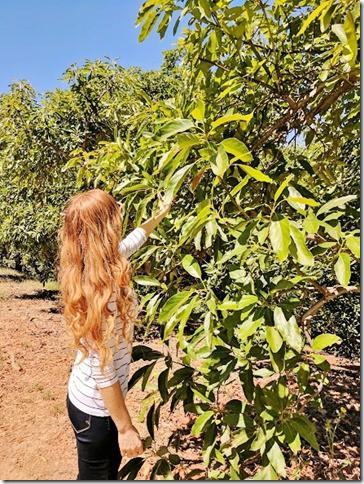california avocados 6 (442x589)