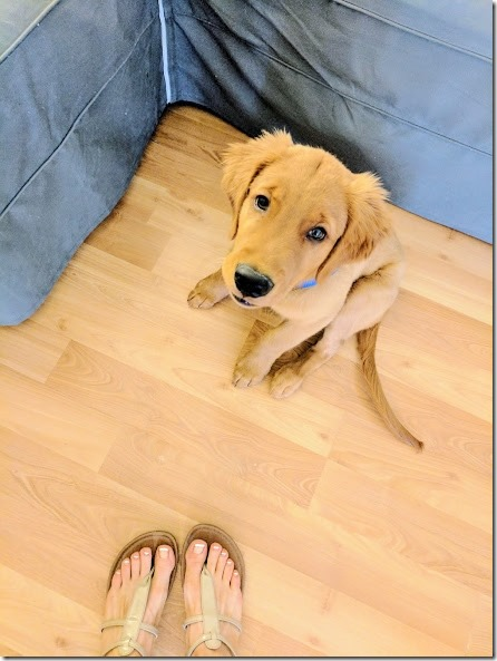 orange county golden retriever 5 (442x589)