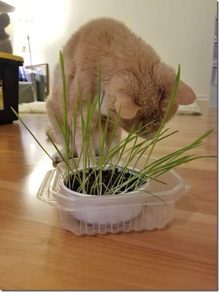 cat grass at home (441x588)