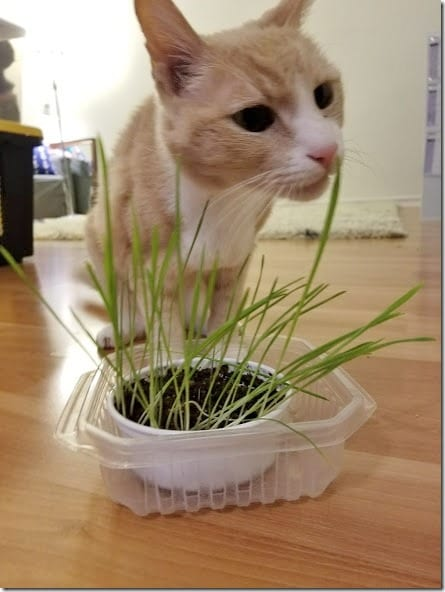 cat grass for vegas (441x588)