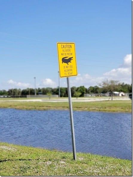 alligators in port charlotte florida (441x588)