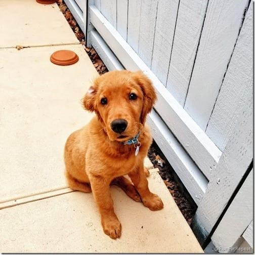 golden retreiver puppy diego redvera 1