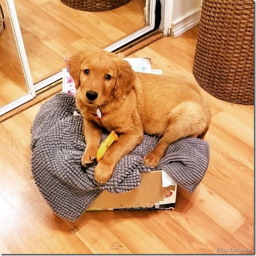 Diego Golden Retriever puppy tips
