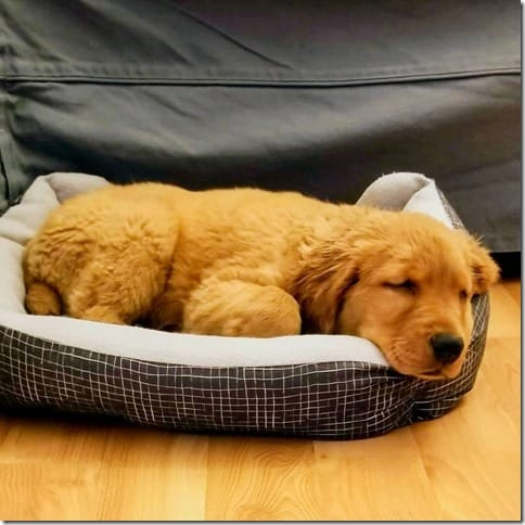 Diego golden retriever puppy cute 1