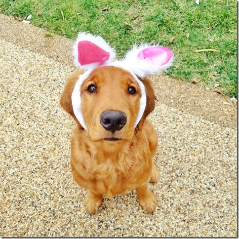 cute golden retriever bunny ears
